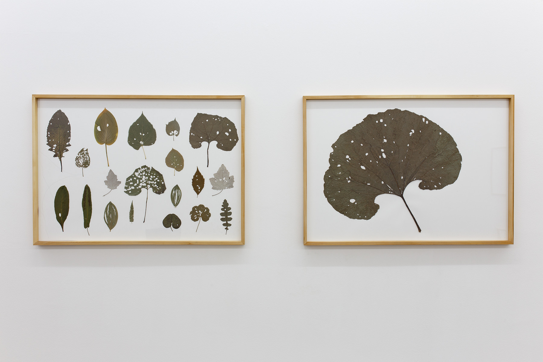 Drawings from caterpillars (Herbarium & Burdock leaf), 2015, 100 x 70 cm each