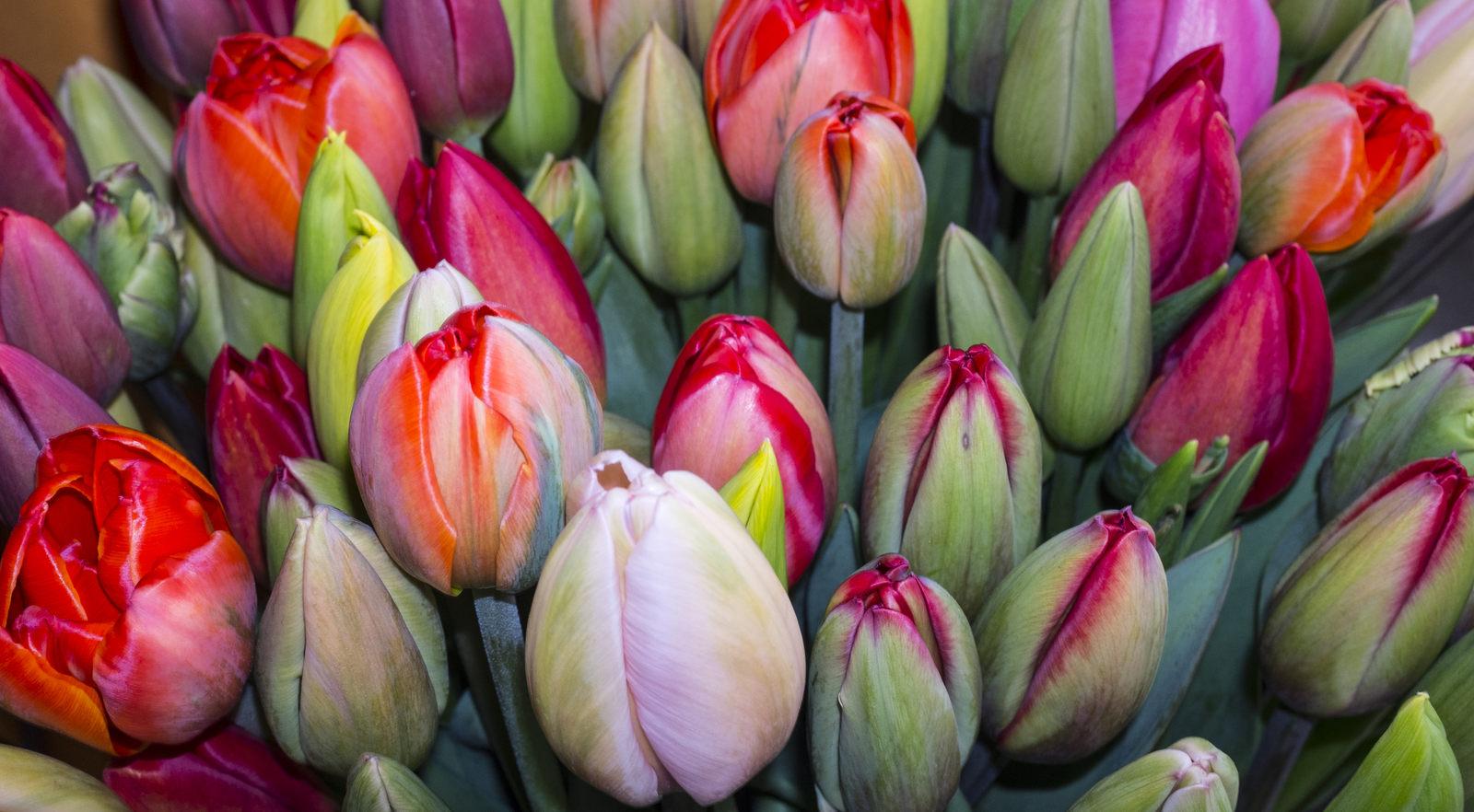 tulips-lr